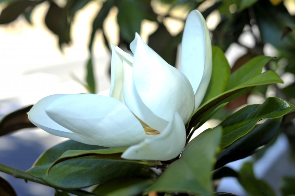 fleur magnolia